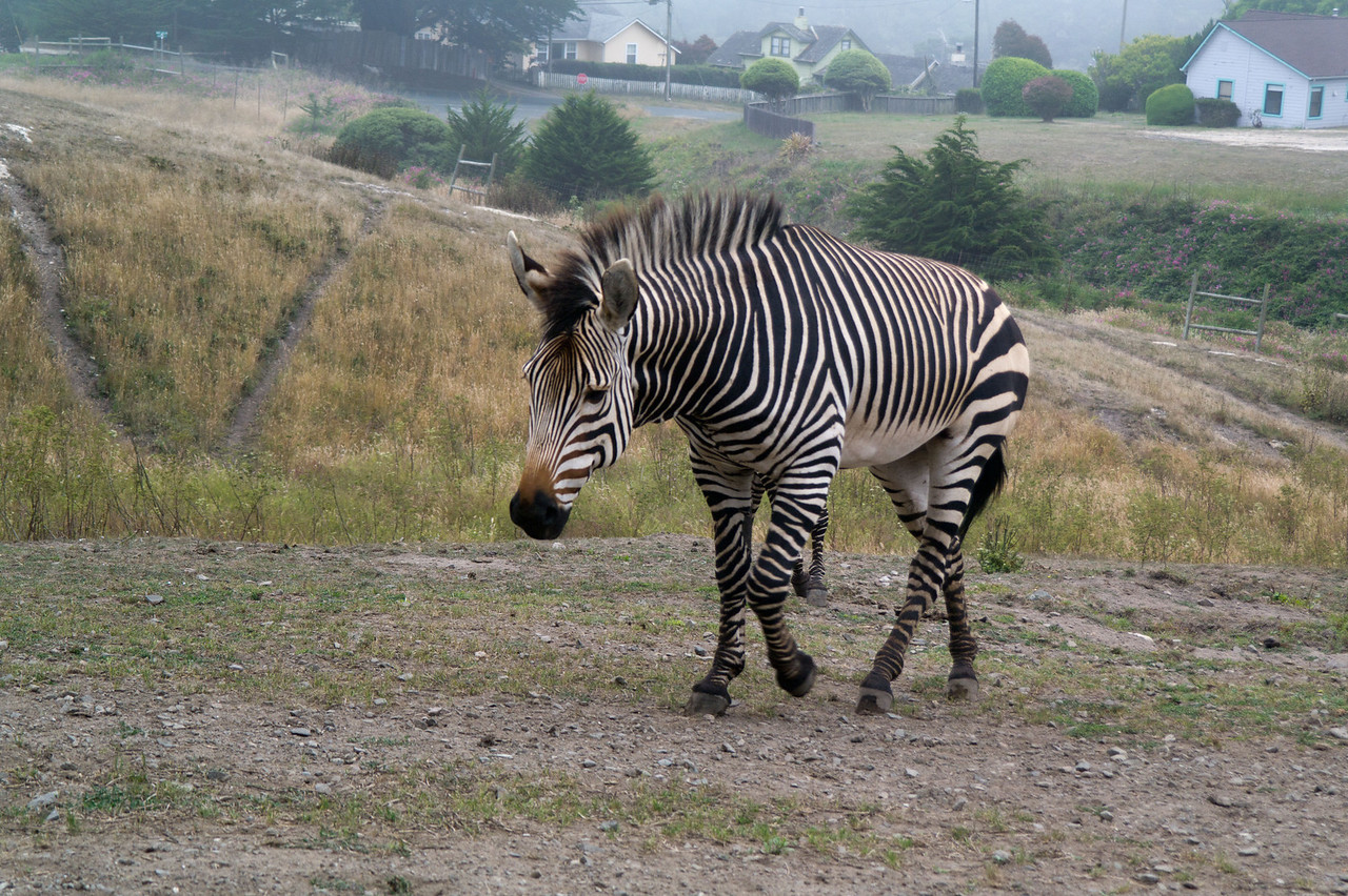 2470 Mountain Zebra