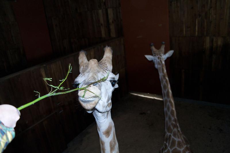 2628 Giraffes