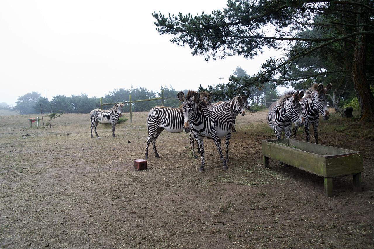 2507 Grevy Zebra
