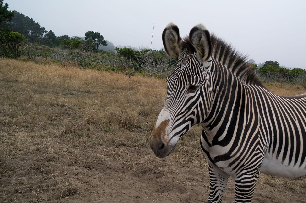 2589 Grevy Zebra
