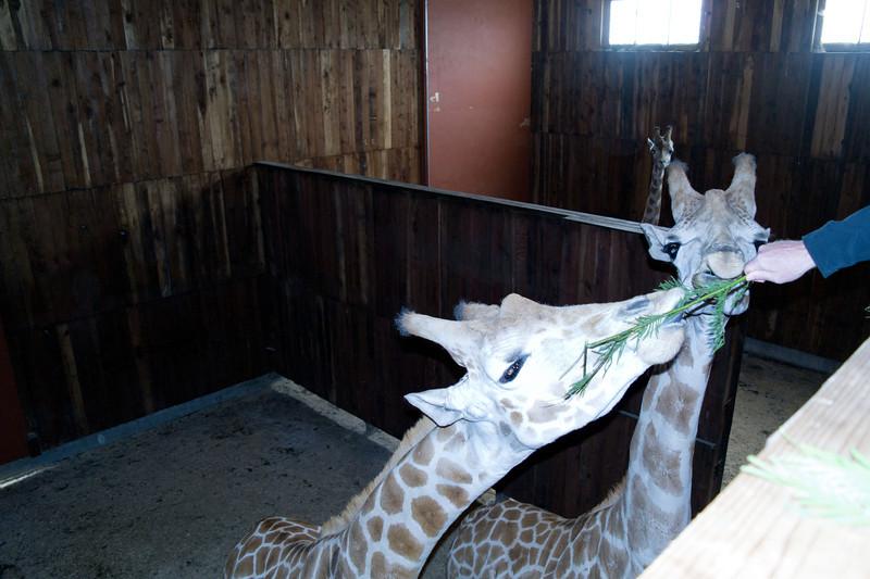 2621 Giraffes