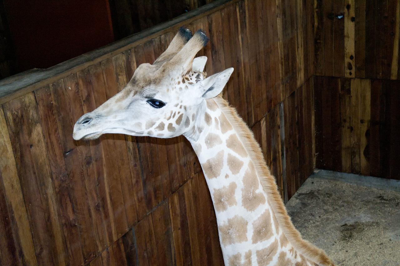 2604 Giraffe