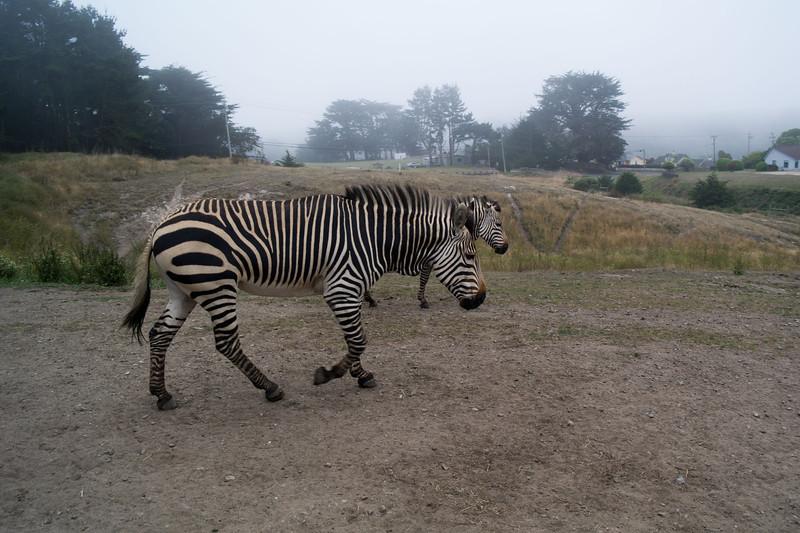 2463 Mountain Zebras