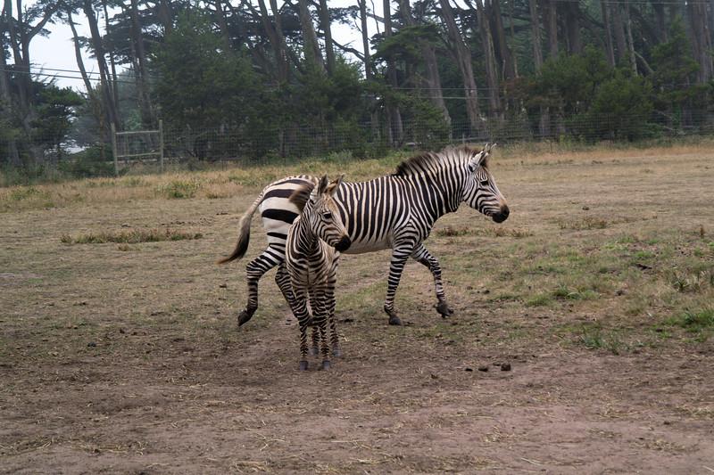 2484 Mountain Zebra