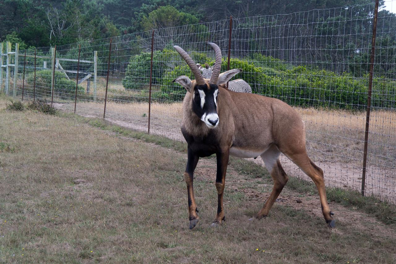 2571 Roan Antelope