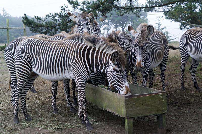 2494 Grevy Zebra