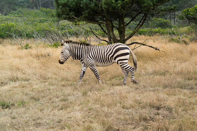 2567 Mountain Zebra