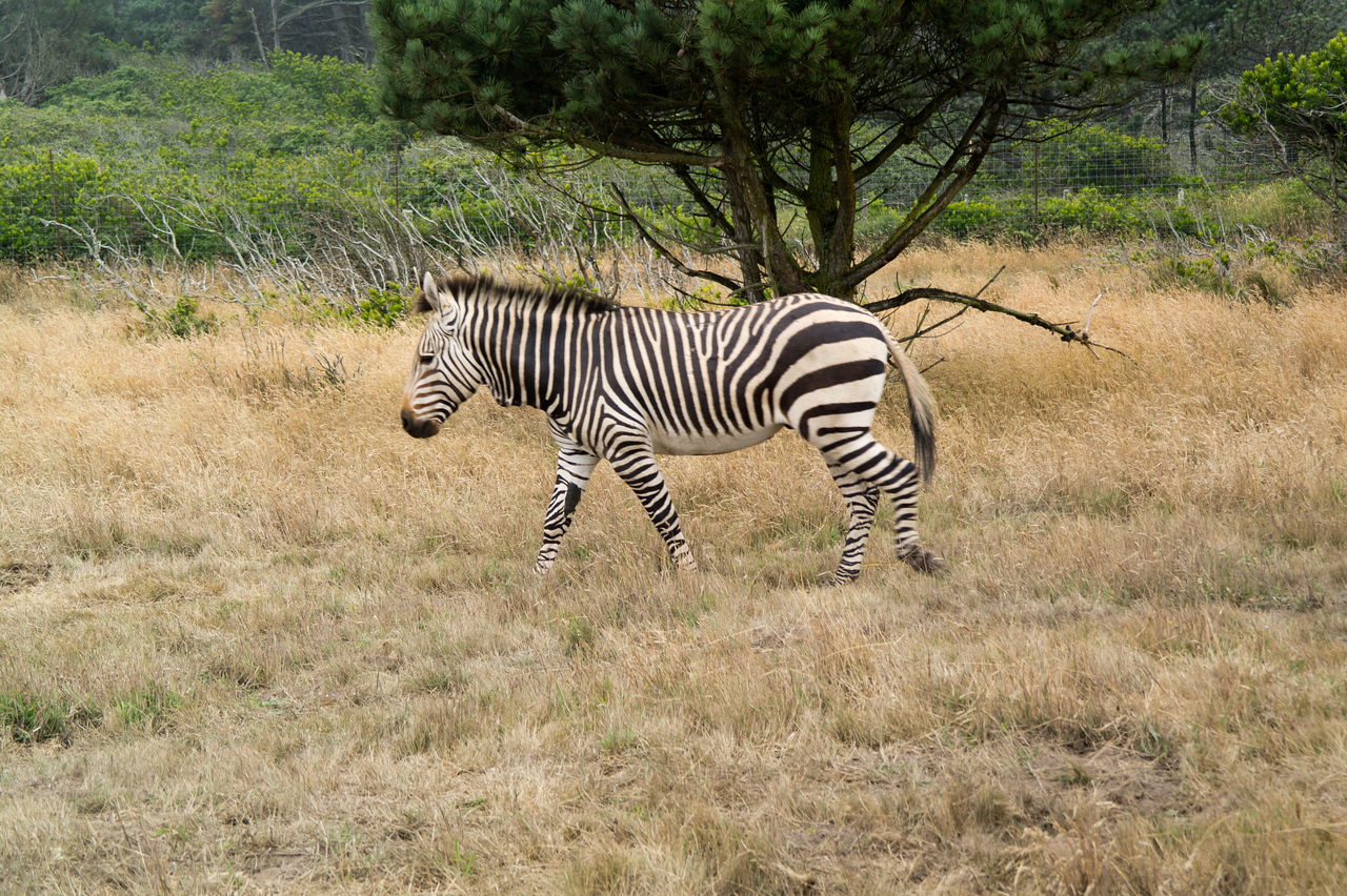 2567 Mountain Zebra
