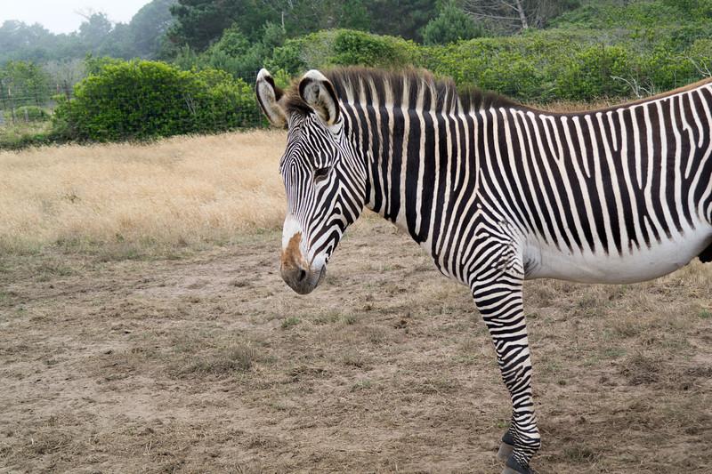 2586 Grevy Zebra