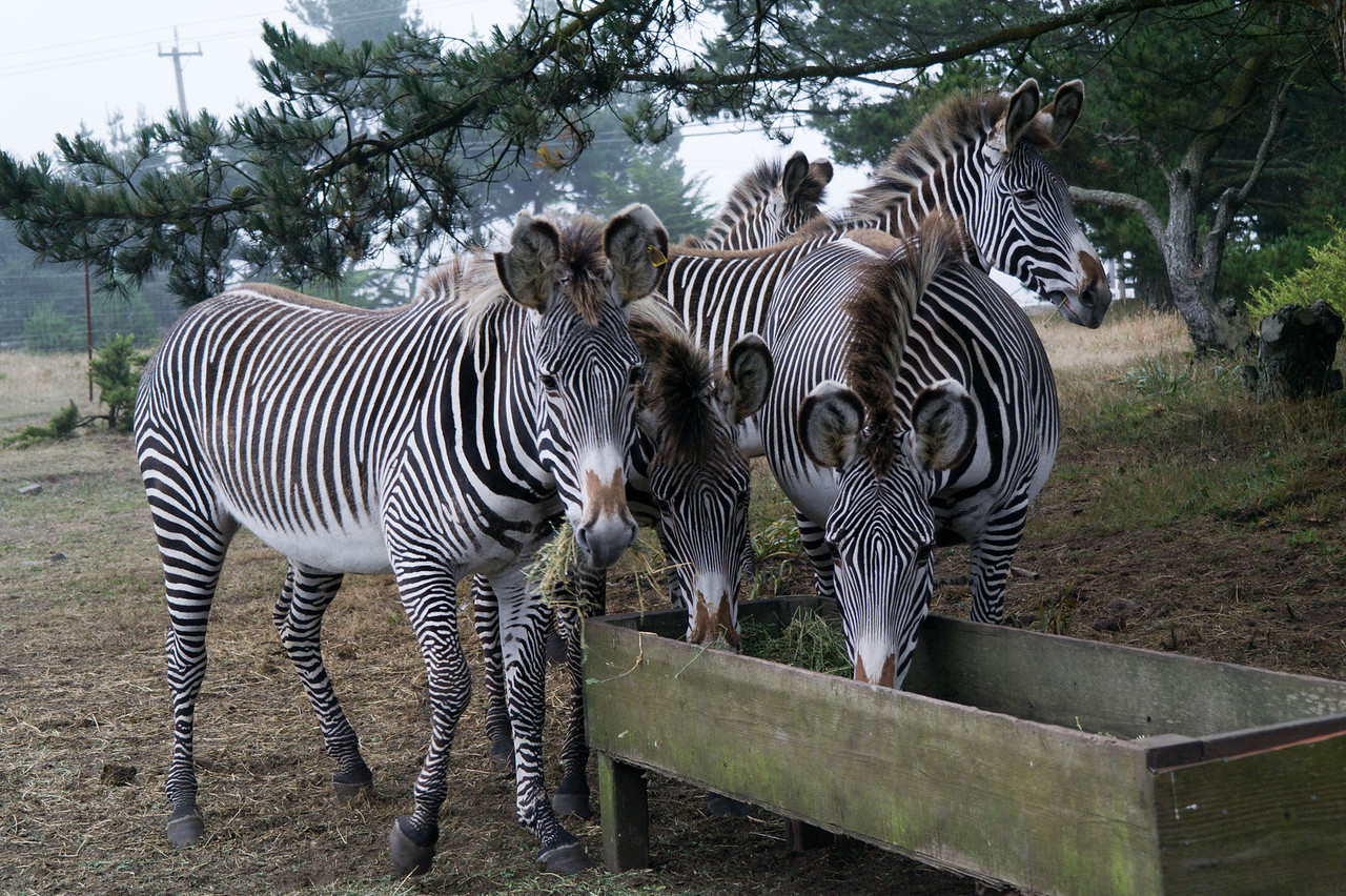 2512 Grevy Zebra