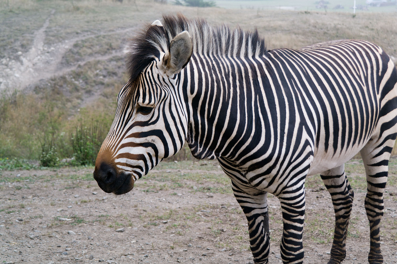 2472 Mountain Zebra