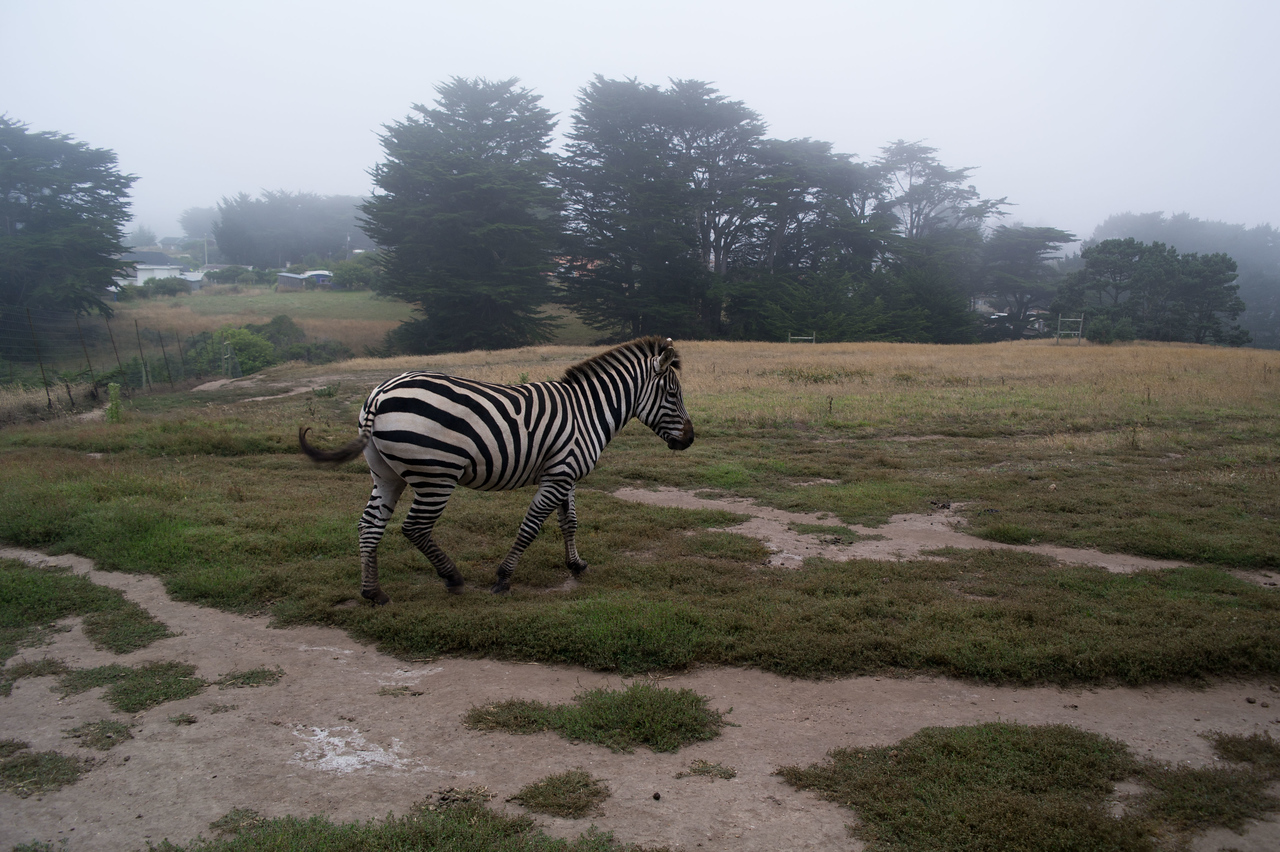 2443 Mountain Zebra