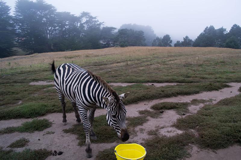 2446 Mountain Zebra