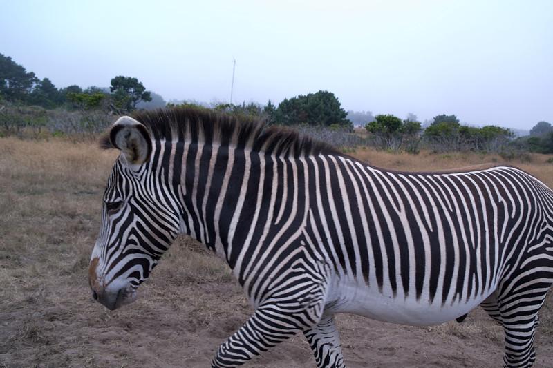 2597 Grevy Zebra