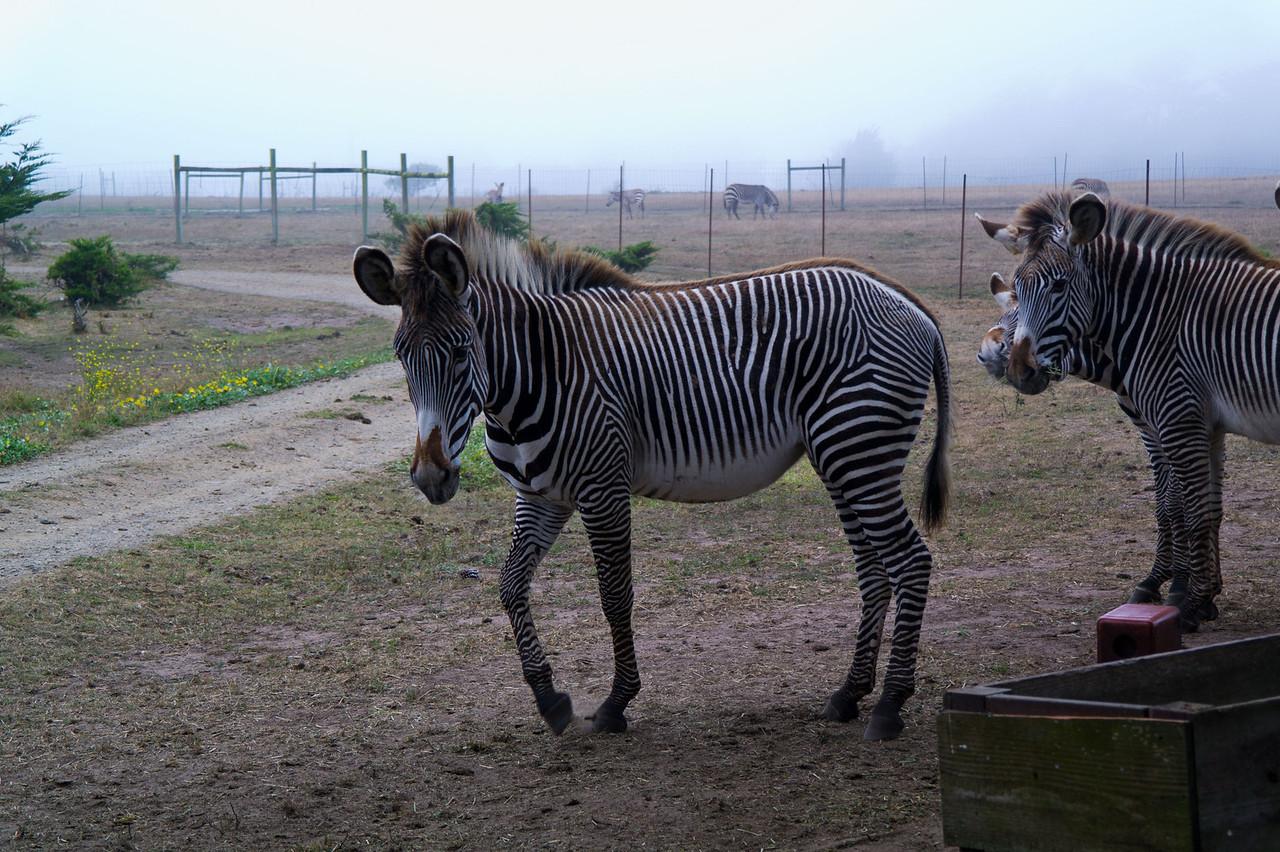 2492 Grevy Zebra