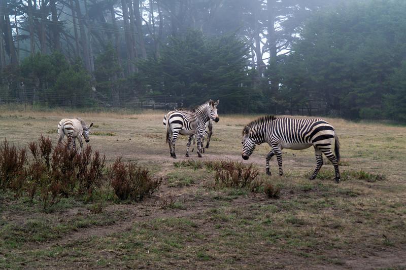 2518 Mountain Zebra