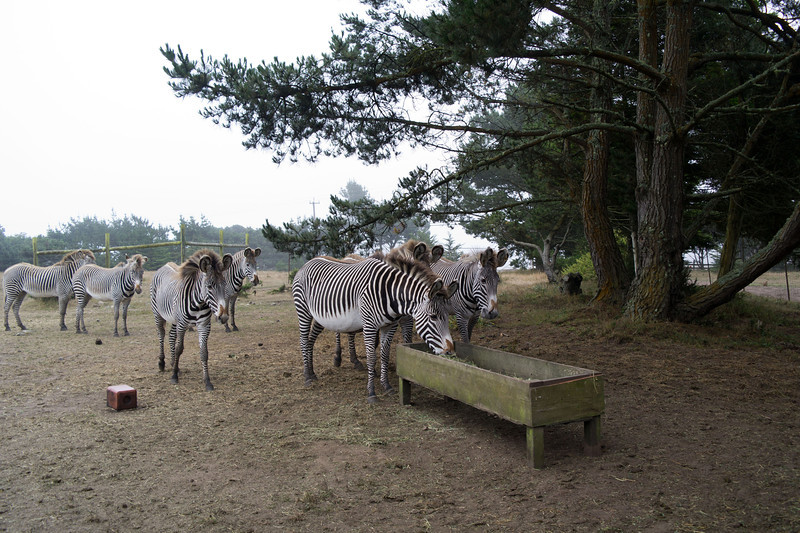 2499 Grevy Zebras