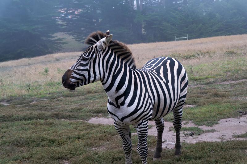 2455 Mountain Zebra