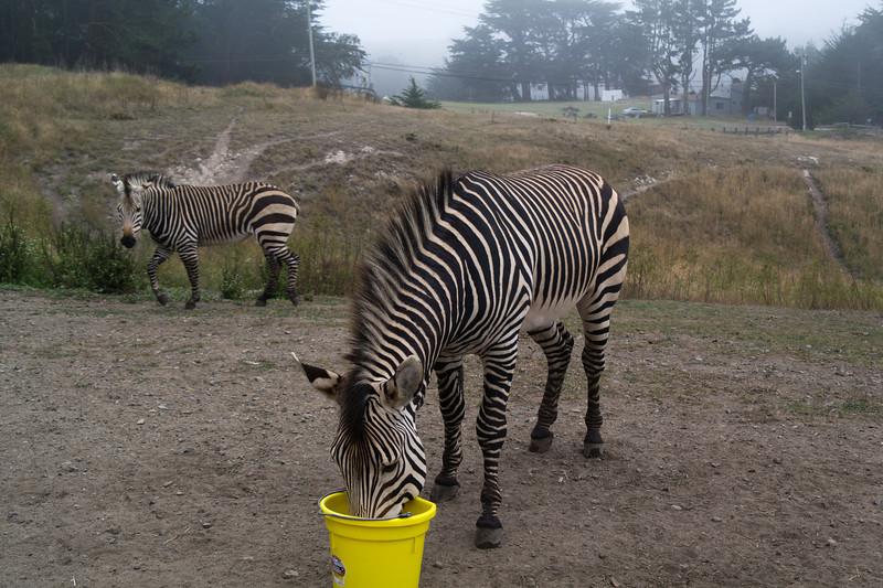 2467 Mountain Zebras