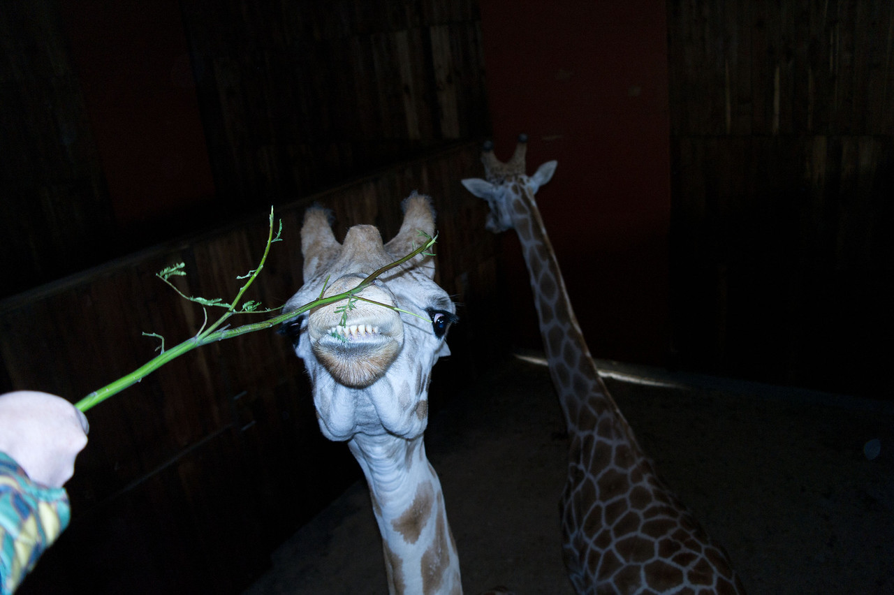 2629 Giraffe
