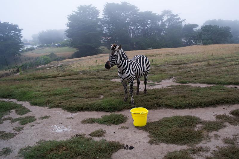 2452 Mountain Zebra