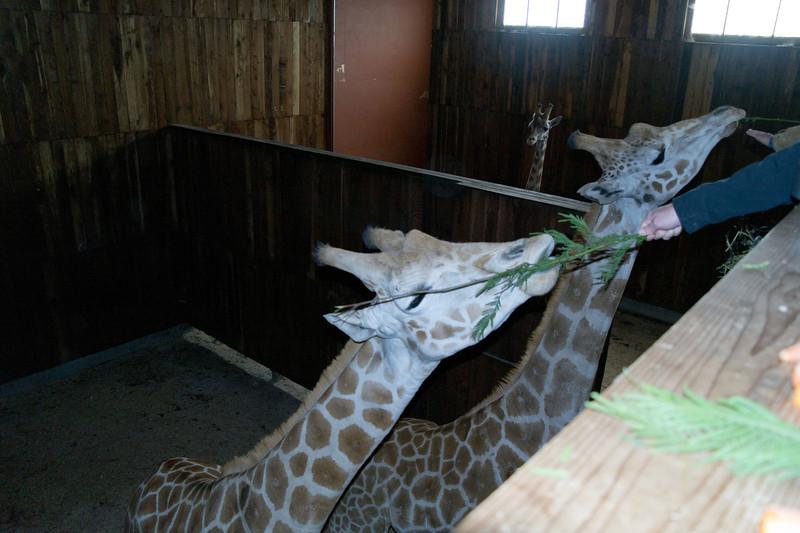 2617 Giraffes