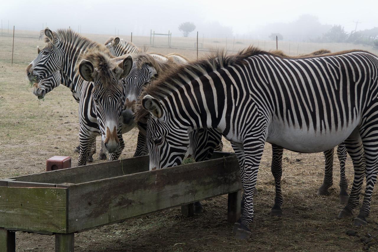 2488 Grevy Zebras