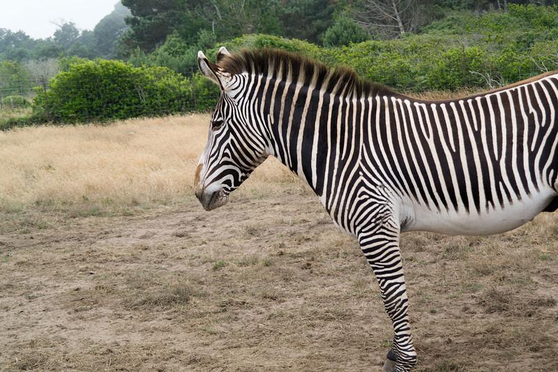 2583 Grevy Zebra