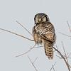 Northern Hawk Owl (lifer)