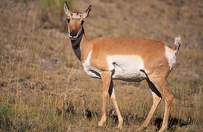Pronghorn doe.  Yellowstone NP, Wyoming.