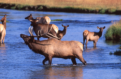 You never know how deep this creek might get.  Bull elk crossing creek.  Yellowstone, Wyoming