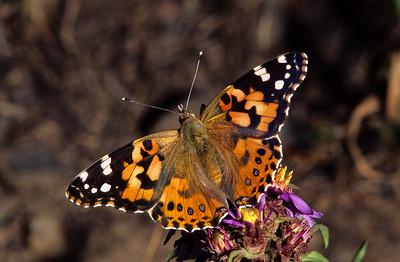 Butterfly near Beaver Lake.  Yellowstone, Wyoming.