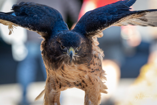 """Red tailed Hawk """"Dolce"""""""