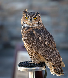 "Great horned Owl ""TweeK"""