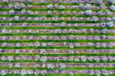 Cherry Orchard from Above