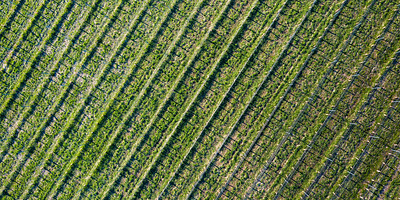 Vineyard in Spring Aerial