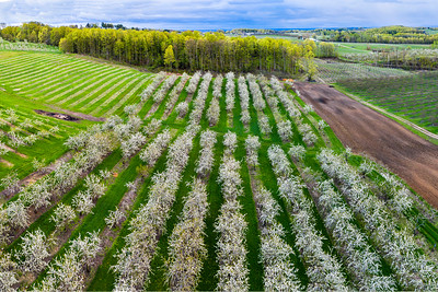 Old Mission Cherry Farm Aerial Panorama