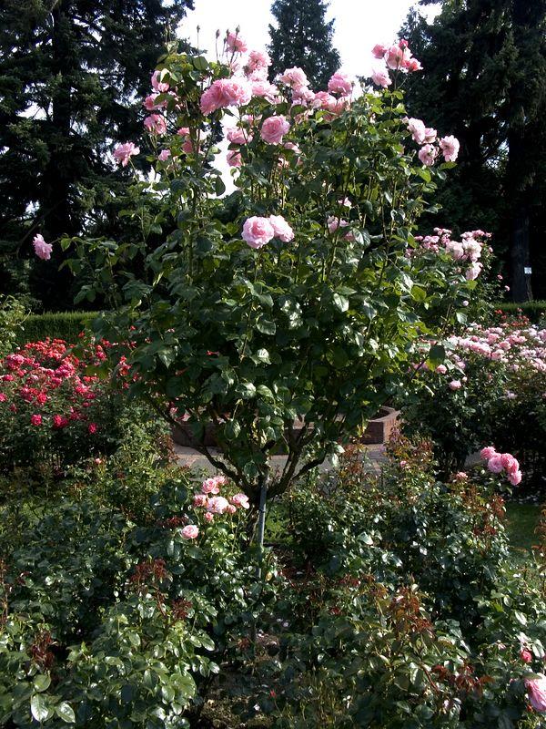027Test Rose Garden