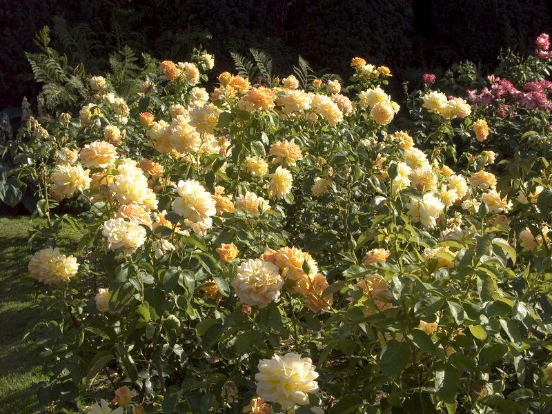 028Test Rose Garden