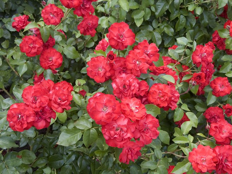 025Test Rose Garden
