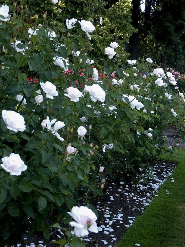031Test Rose Garden