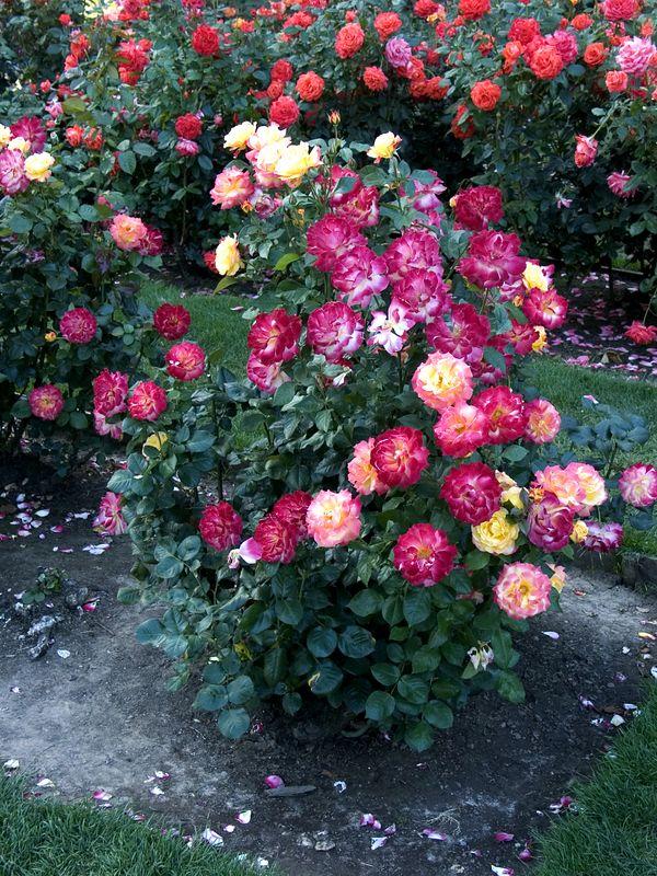 029Test Rose Garden