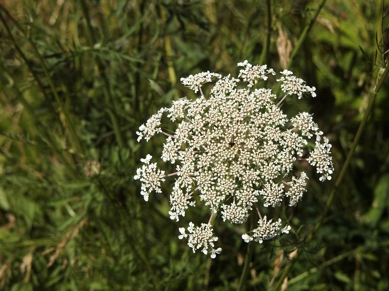 087Queen Anns Lace