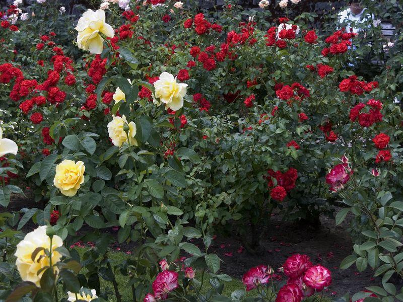 026Test Rose Garden
