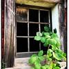 Barn Window and Greenery