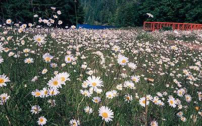 Wildflowers, Olympic National Park