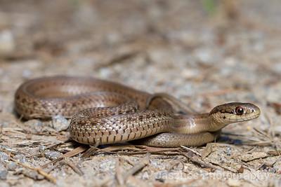 Northwest Garter Snake