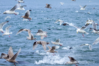 Fishing Gulls