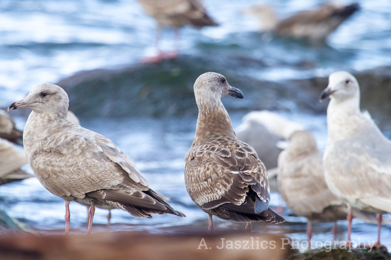 Herring Gull and Western Gull
