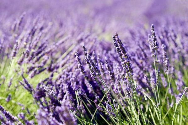 Lavender farm, Oregon